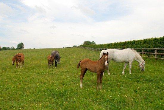 Mares & Foals grazing