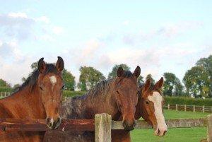 haras horses